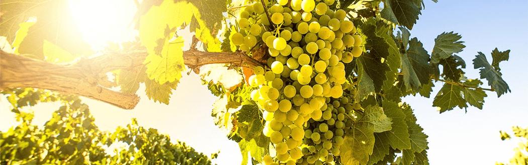 Sauvignon blanc wijndruif